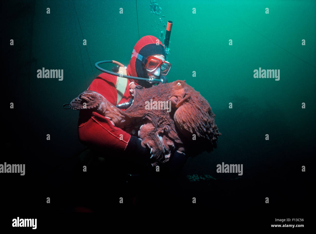 Giant Pacific Octopus (Enteroctopus dofleini) weighing over 20 Kilos interacting with a diver. Victoria Island, - Stock Image