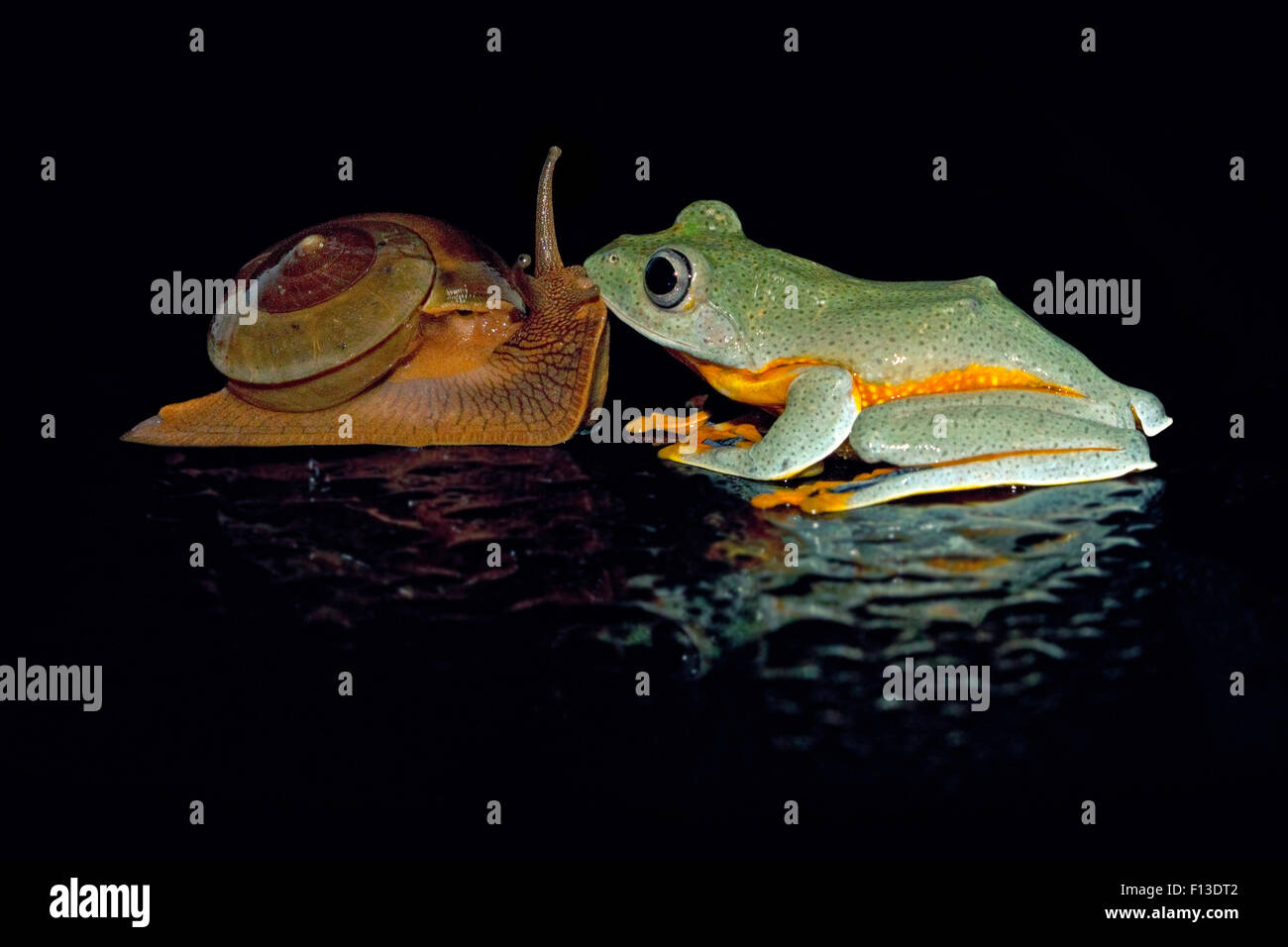 Tree frog kissing a snail - Stock Image