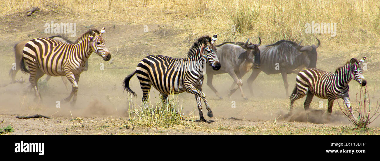 wildebeest and zebra running from a lion, Tarangire National Park, Tanzania - Stock Image