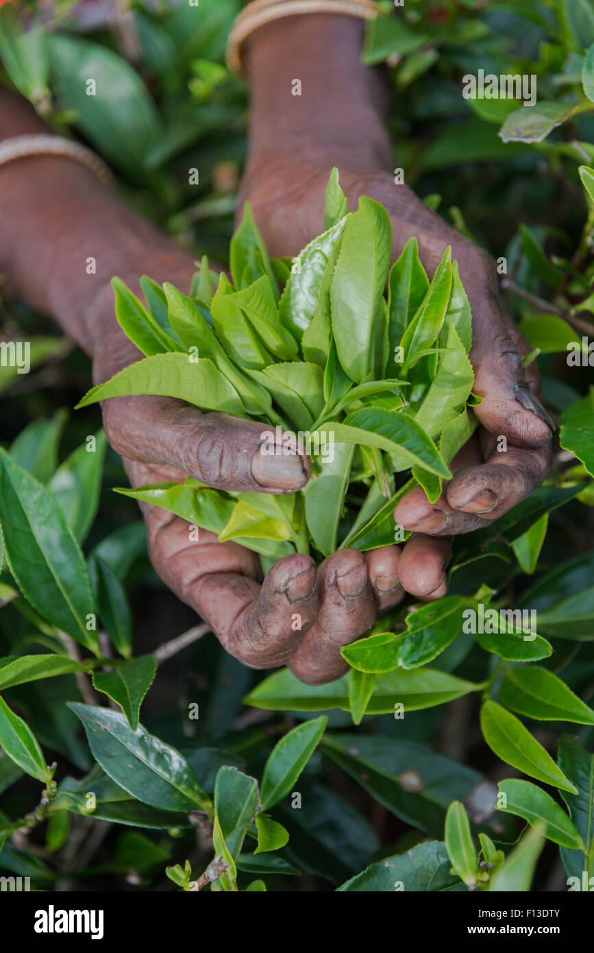Handful of freshly picked tea leaves, Sri Lanka - Stock Image