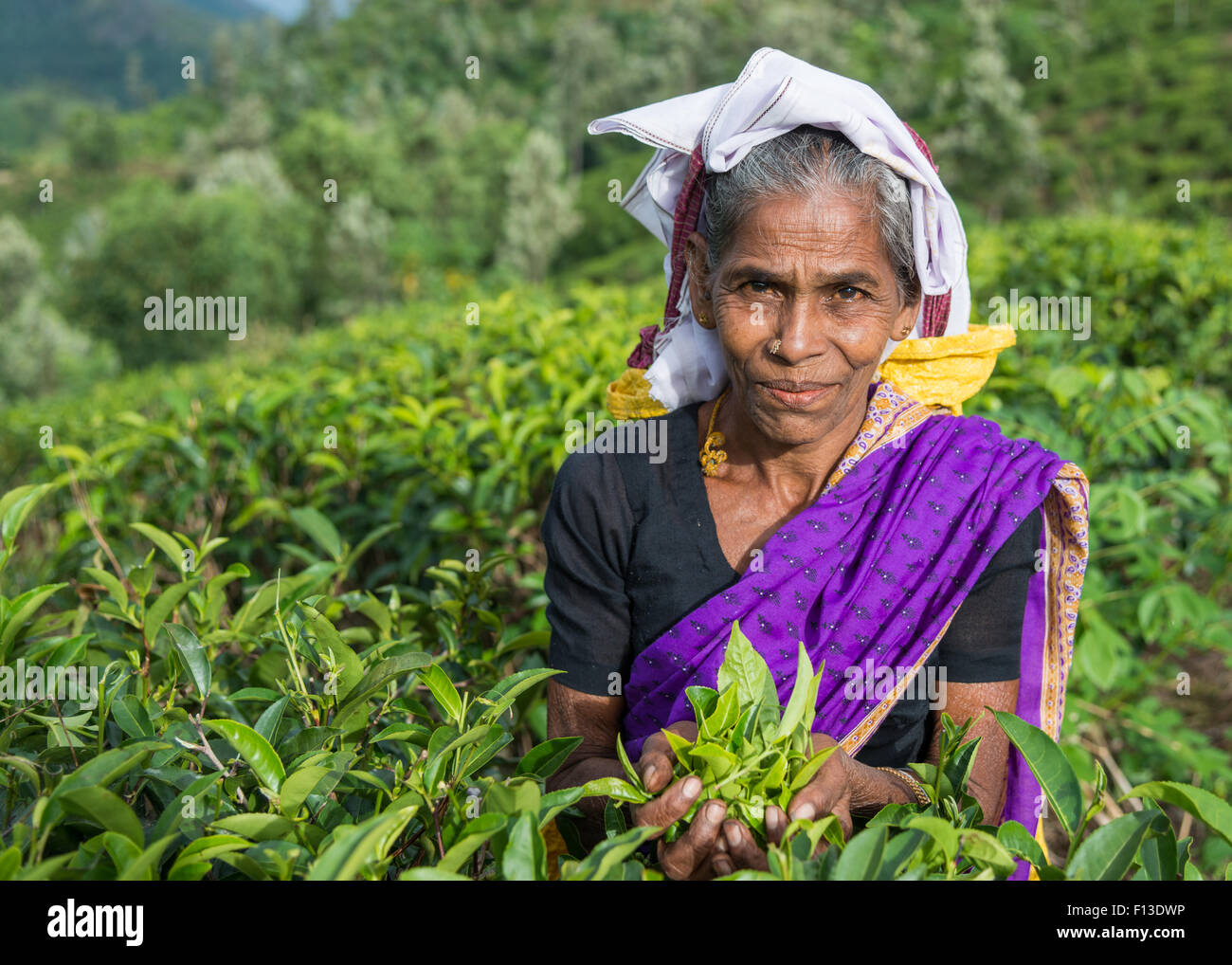 Portrait of a tea picker with a handful of tea leaves - Stock Image