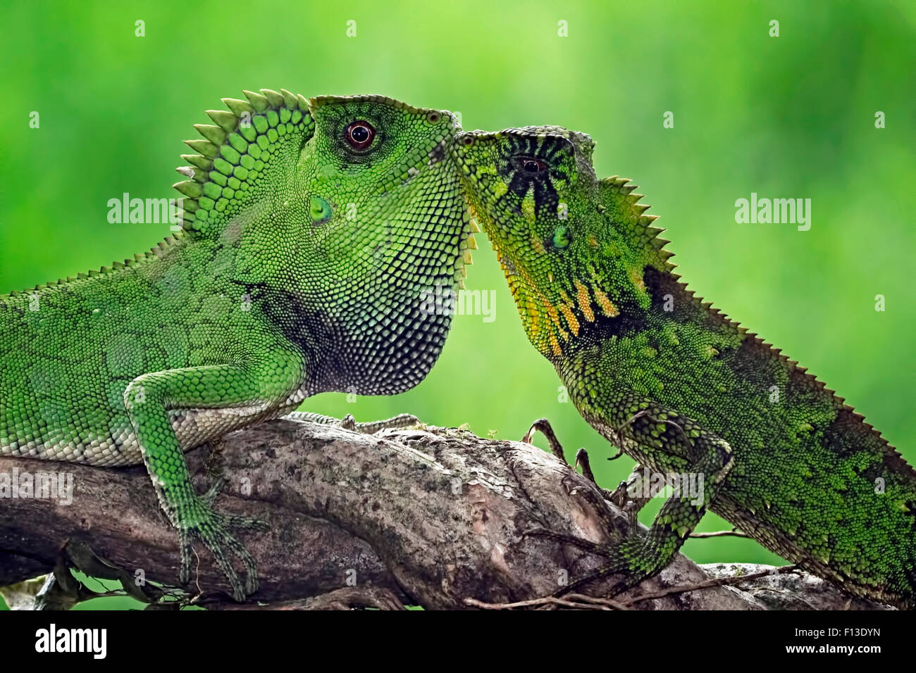 Two chameleons looking at each other - Stock Image