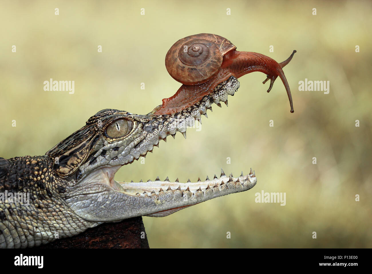 Portrait of a snail sitting on baby crocodile's mouth - Stock Image