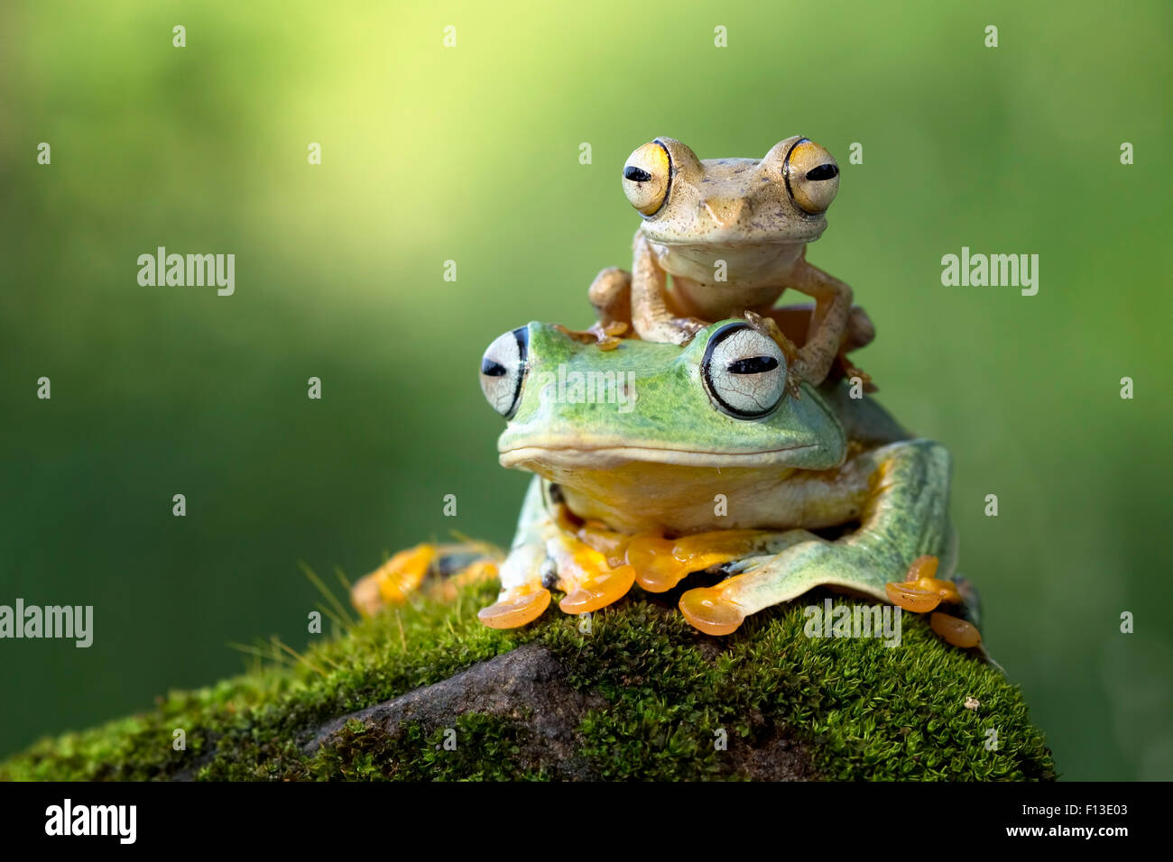 Small frog sitting on another frog - Stock Image