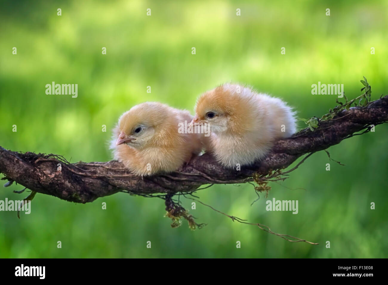 Two chicks sitting on a vine - Stock Image