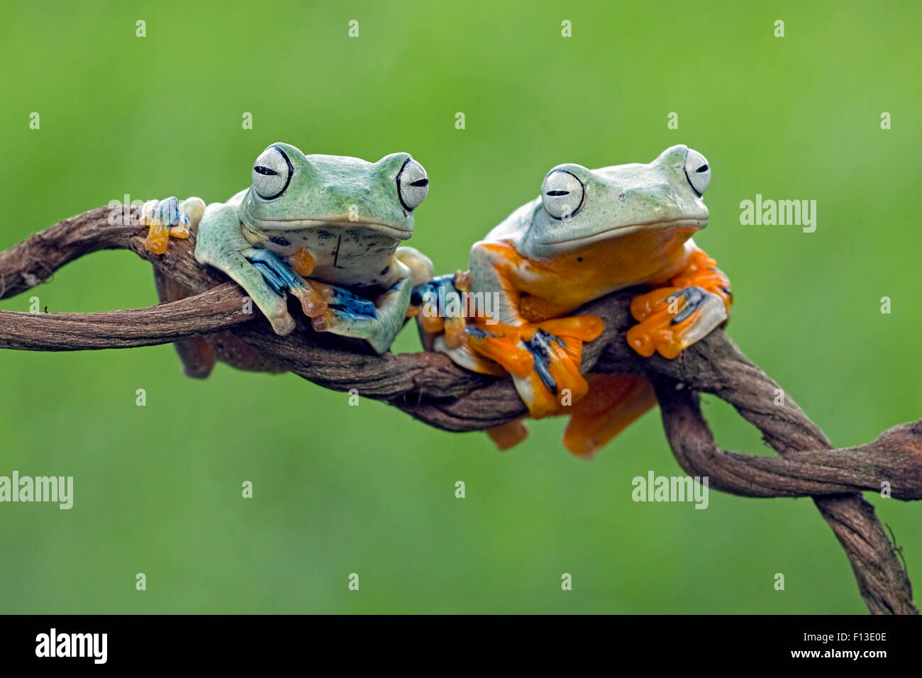 Two frogs on a branch - Stock Image