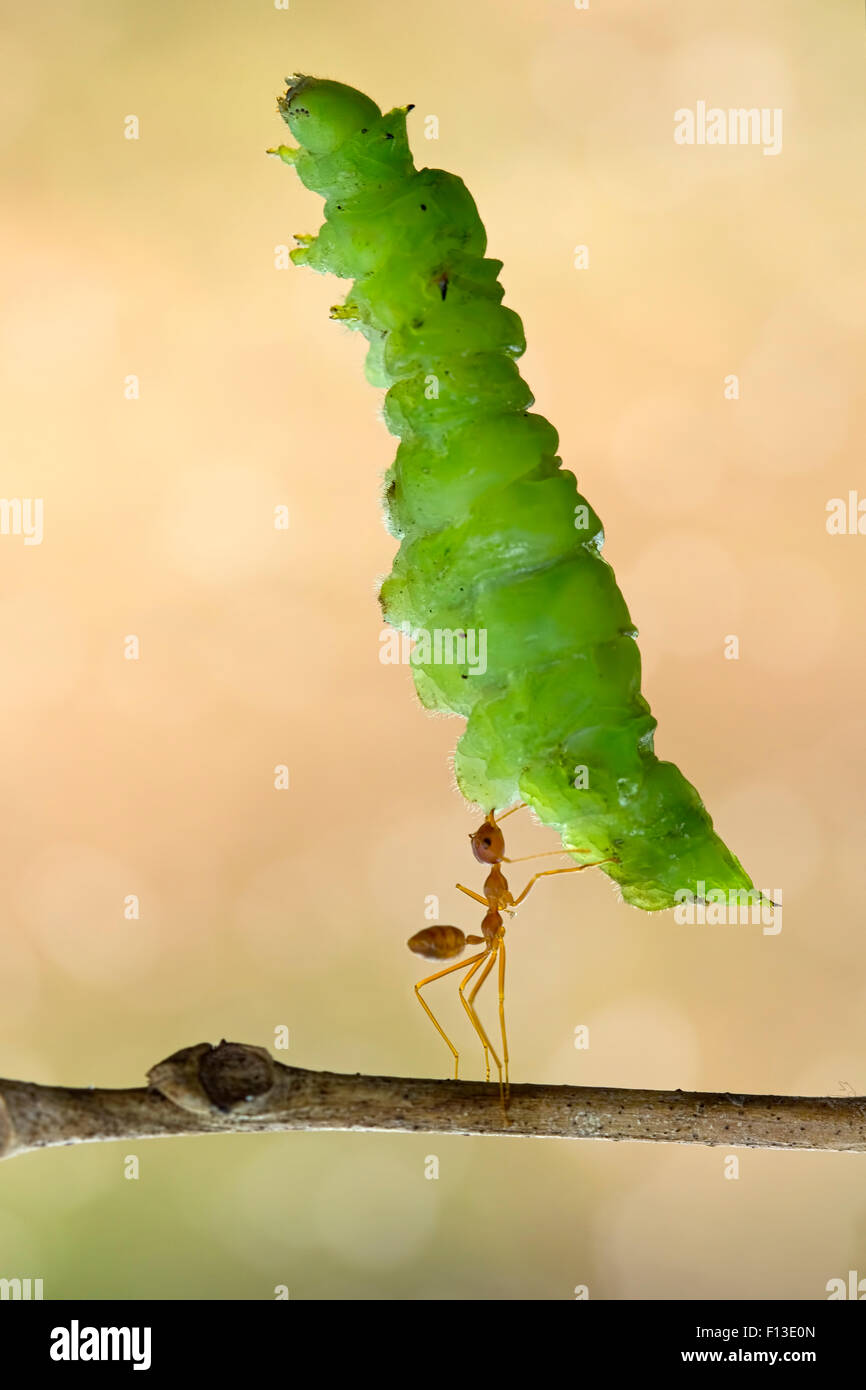 Ant carrying big leaf - Stock Image