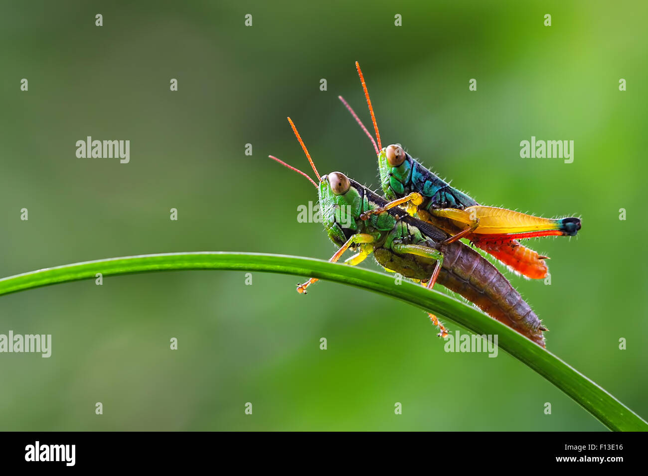 Grasshopper sitting on top of another grasshopper - Stock Image