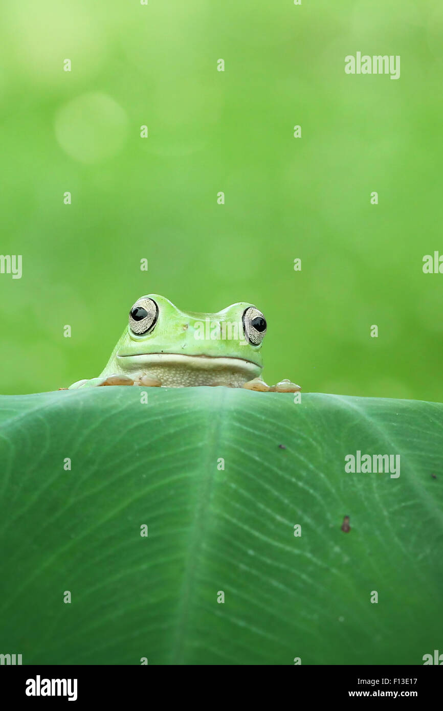 Frog looking over the top of a leaf - Stock Image