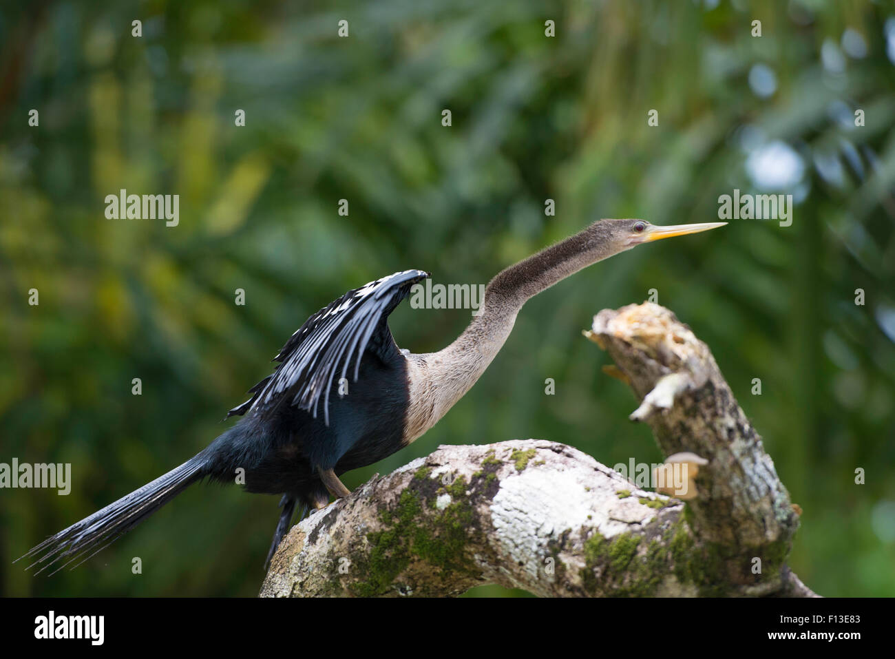 Wildlife in Costa Rica, tropical bird Anhinga. Rufous Darter or snakebird on a dead branch in nature. - Stock Image