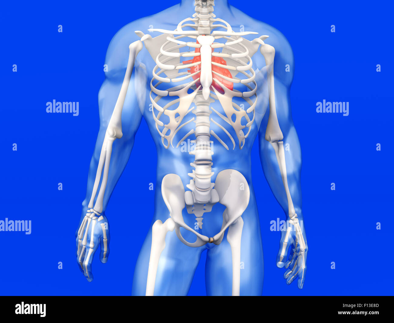 3d Visualization Of The Human Anatomy The Heart In A Stock Photo