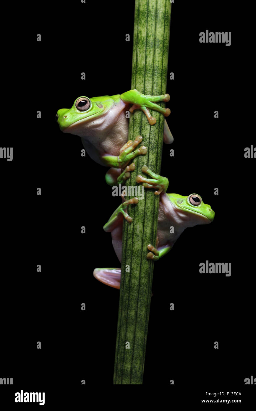 Two frogs climbing up a plant - Stock Image