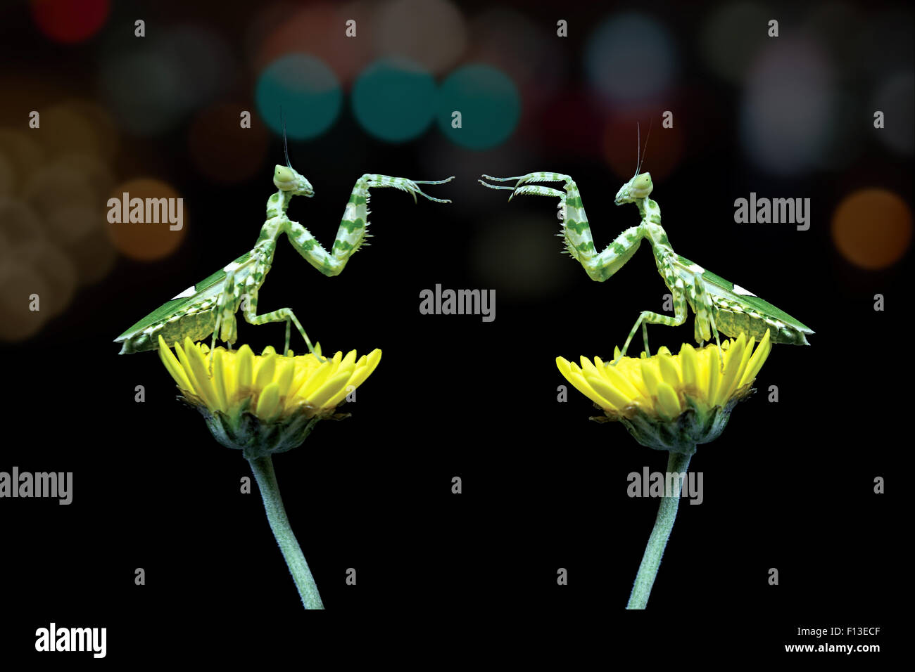 Two mantis sitting on flowers fighting, Indonesia - Stock Image