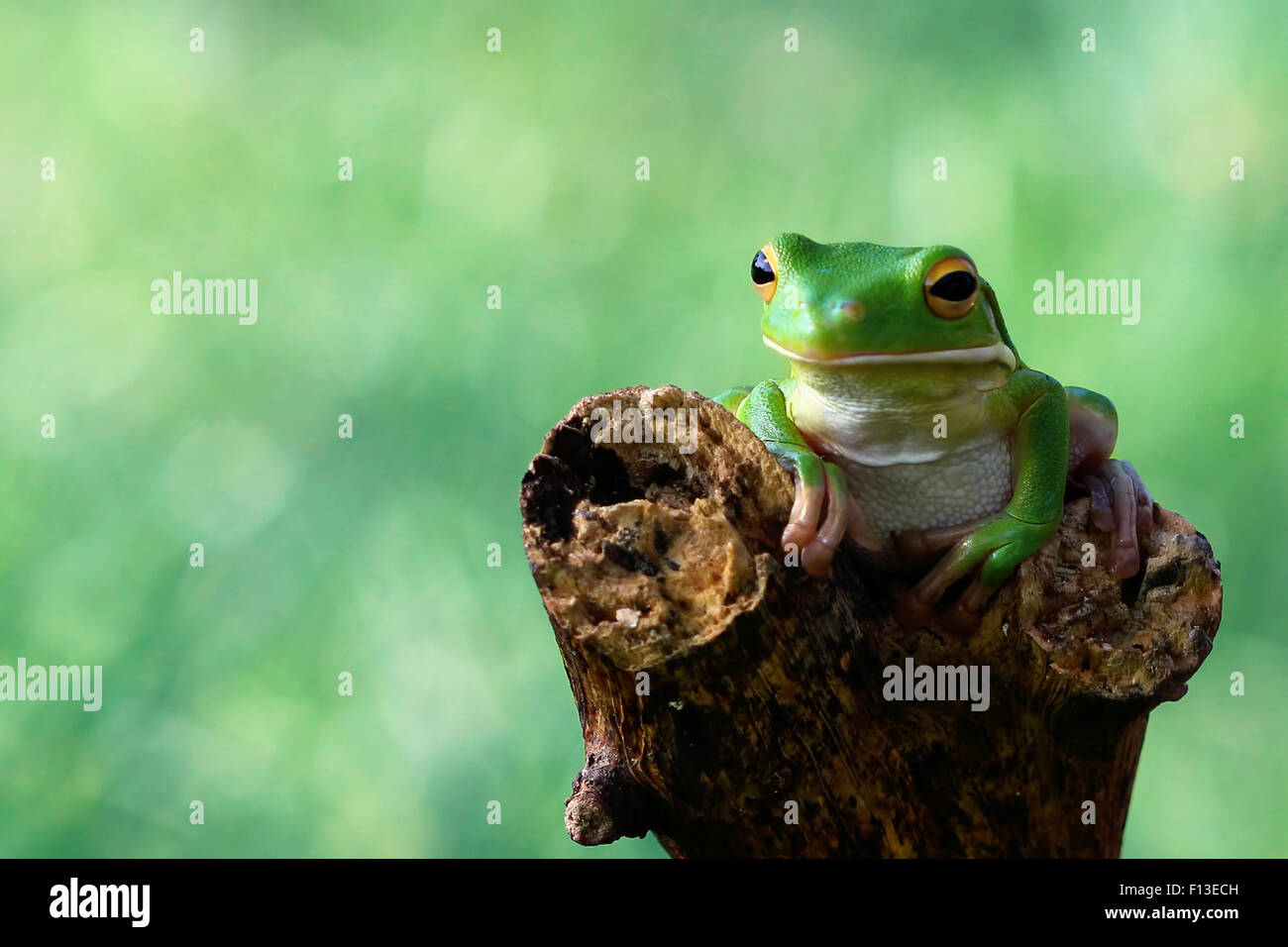 Frog sitting on a branch - Stock Image