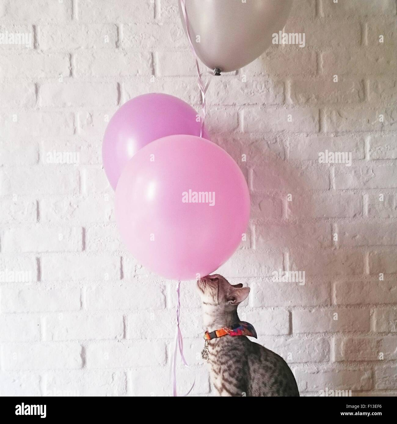 Cat playing with balloons Stock Photo