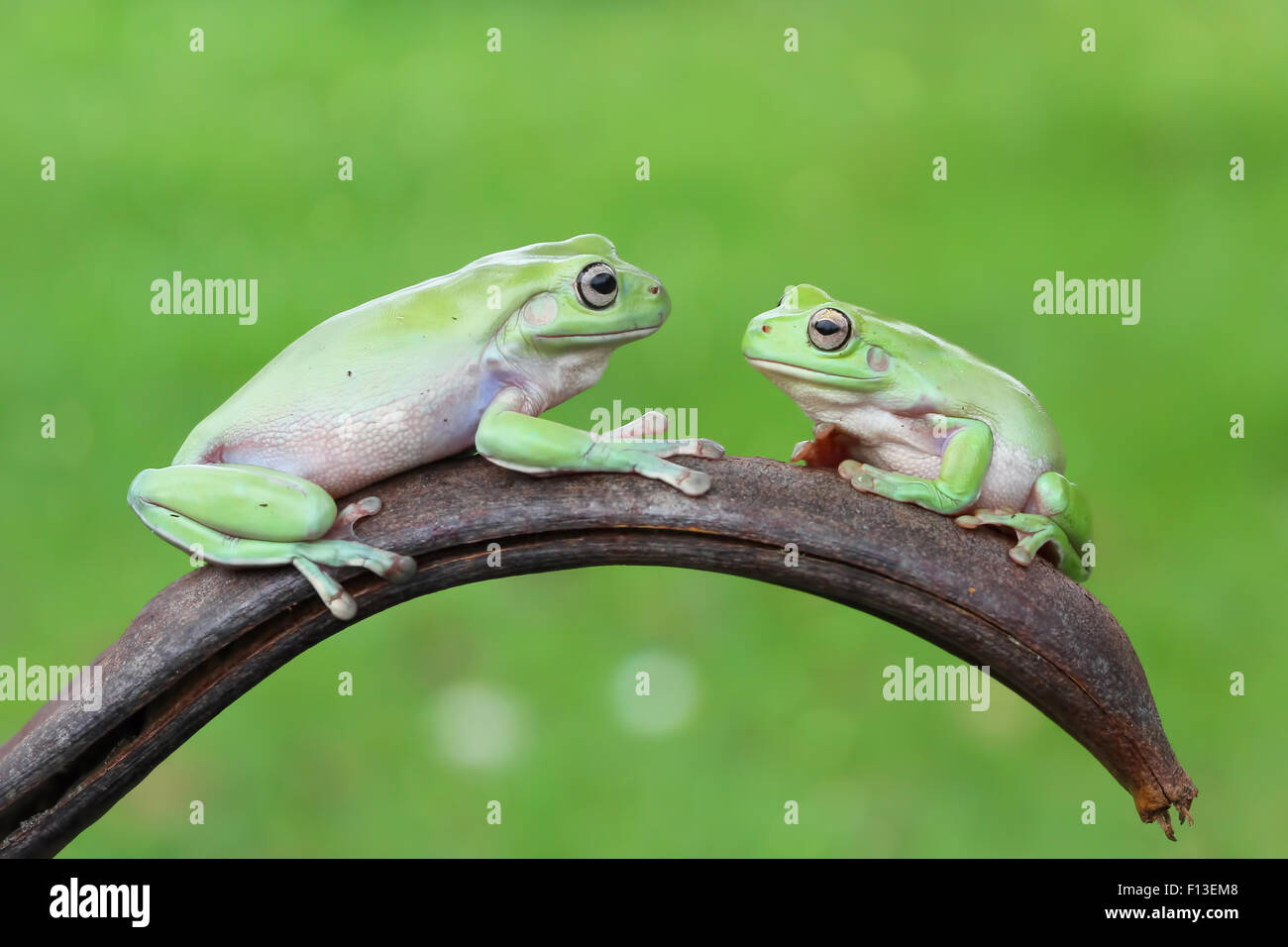 Two tree frogs sitting on a plant looking at each other - Stock Image