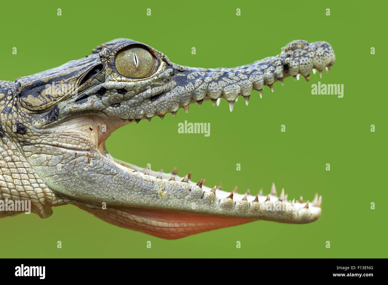 Close up of open mouthed crocodile - Stock Image