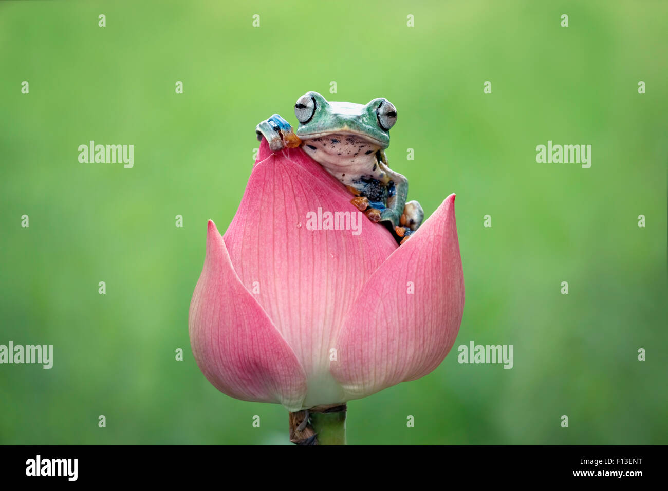 Javan gliding tree frog sitting on a flower - Stock Image