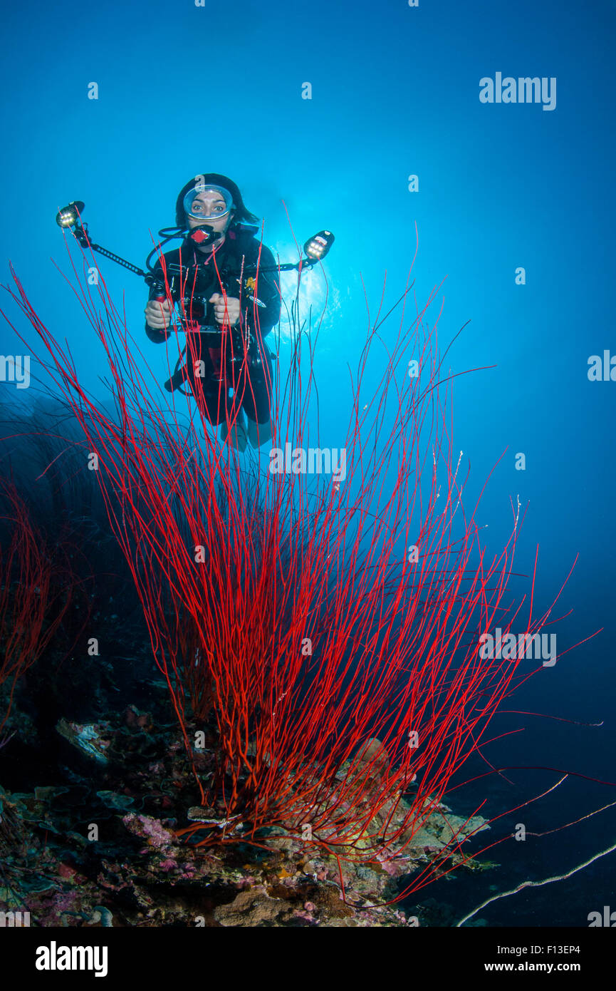 Scuba Diver photographing coral, Barnum Wall, Palau, Micronesia - Stock Image