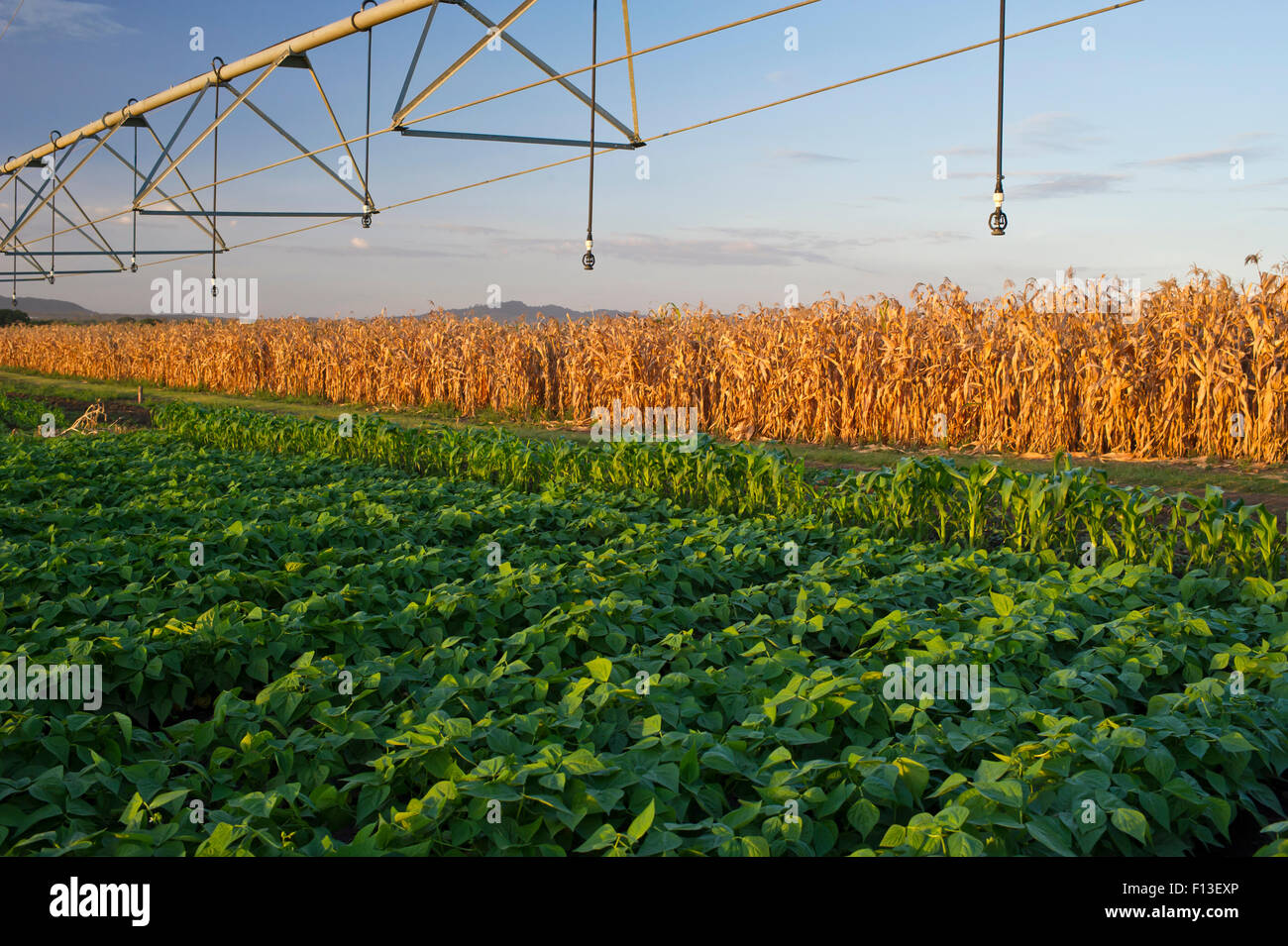 Field of Green beans (Phaseolus vulgaris) with pivot irrigation, field of dried maize behind. Commercial farm, Tanzania, - Stock Image