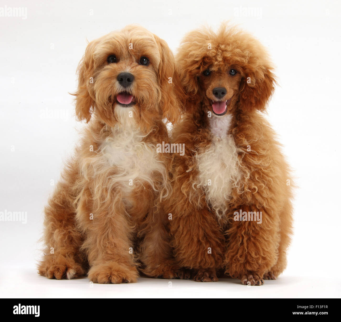 Cavalier King Charles Spaniel X Poodle Cavapoo And Red Toy Poodle
