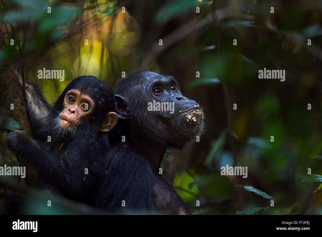 Eastern chimpanzee (Pan troglodytes schweinfurtheii) female 'Fanni' aged 30 years feeding fruit with her - Stock Image