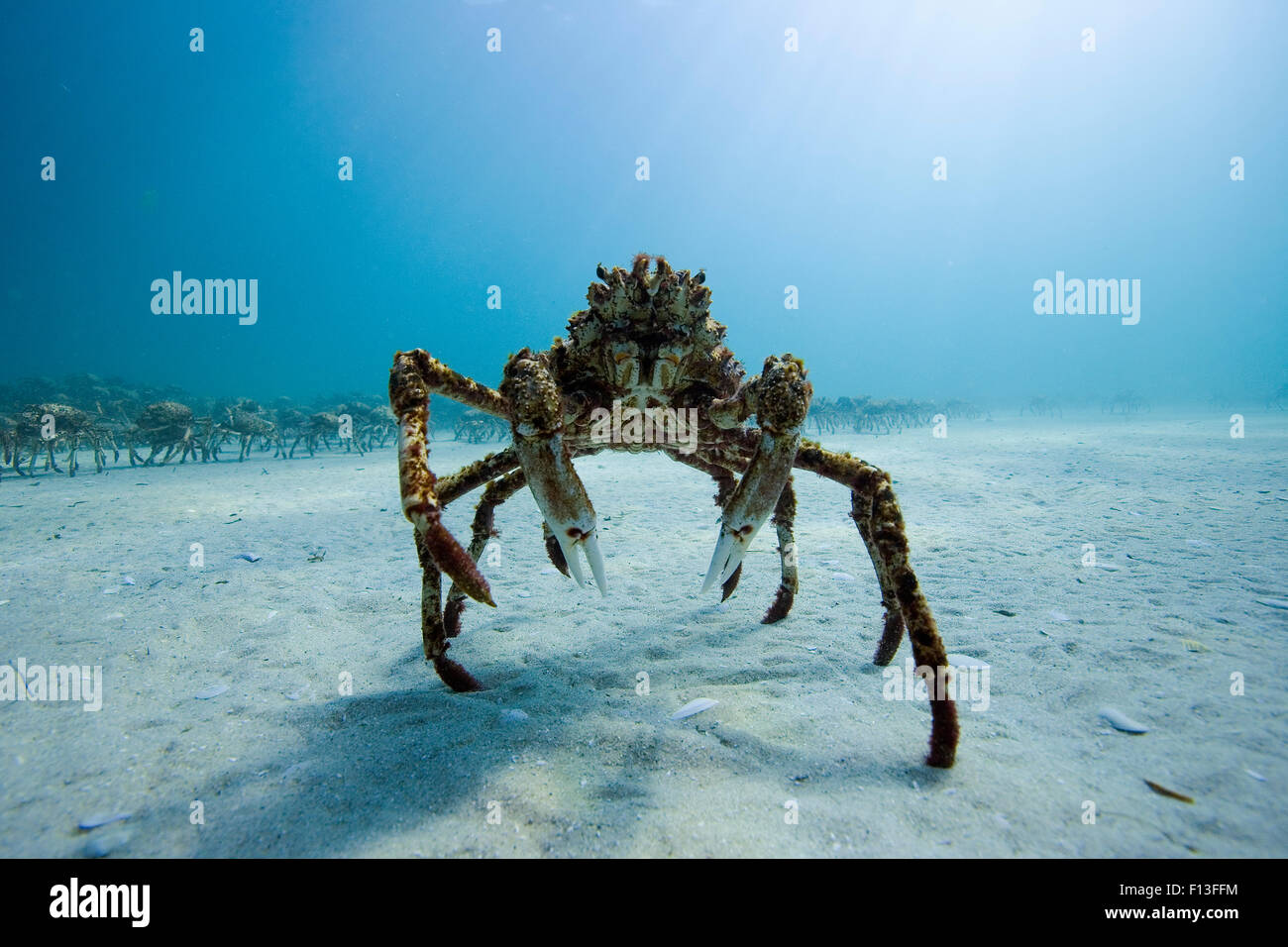 Spider crab (Leptomithrax gaimardii) near aggregation for moulting, South Australia Basin, Australia. Pacific Ocean. - Stock Image