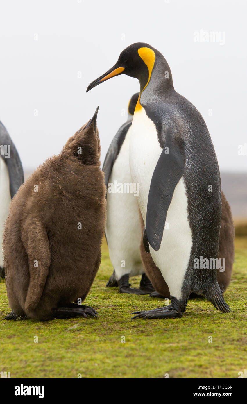 King Penguin chick reaching to parent to be fed. - Stock Image