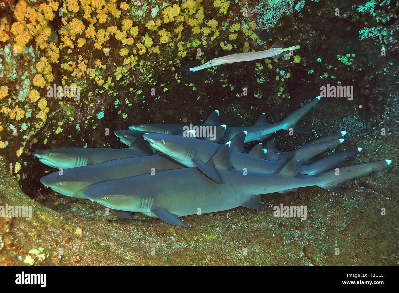 Group of White tip sharks (Triaenodon obesus) resting on sea floor with a Trumpetfish (Aulostomus chinensis) on - Stock Image