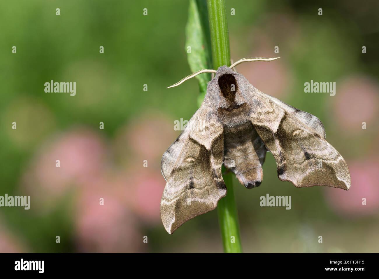 Eyed Hawk-Moth, Eyed Hawkmoth, Abendpfauenauge, Abend-Pfauenauge, Smerinthus ocellata, Smerinthus ocellatus, Le - Stock Image