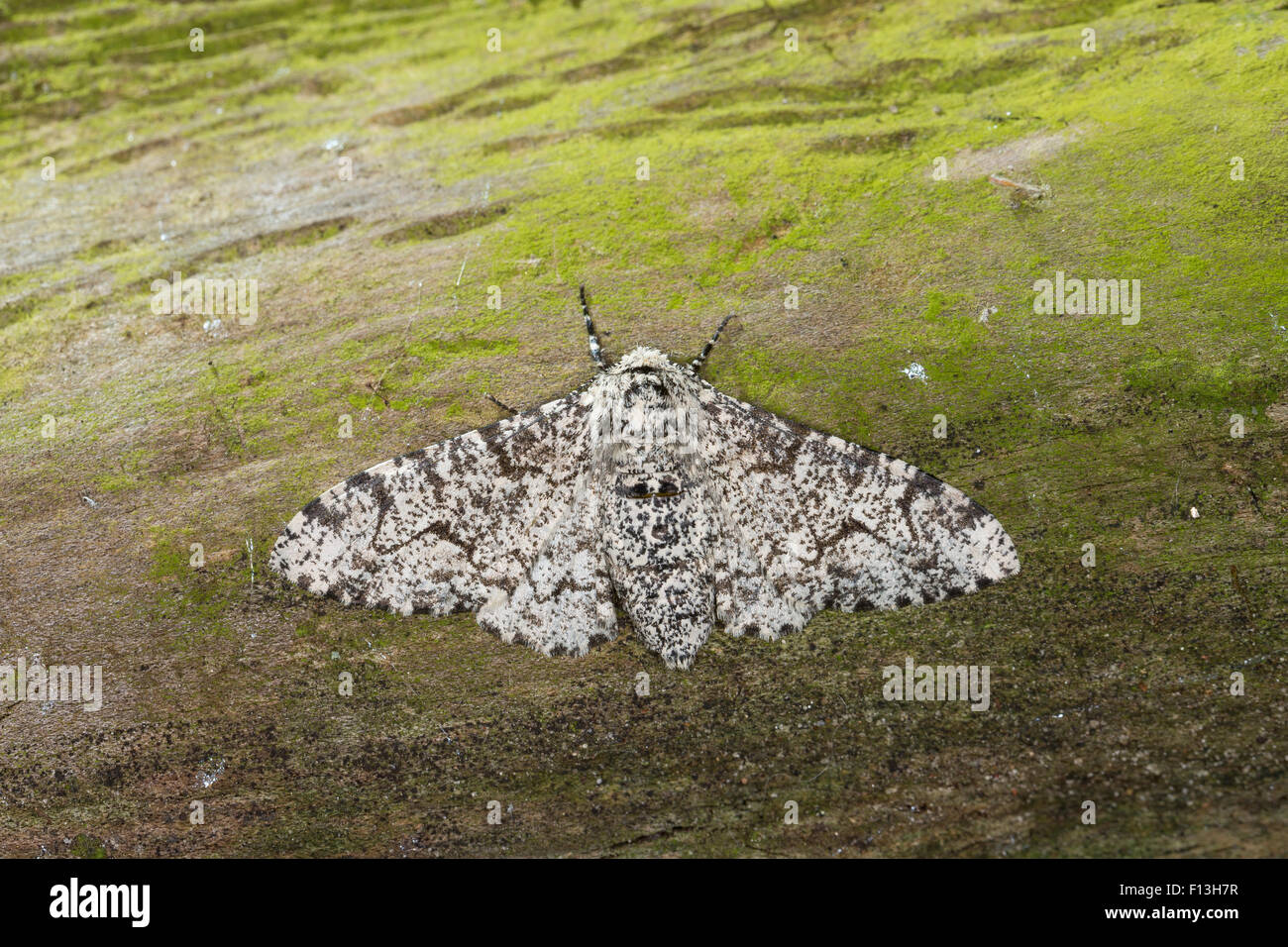 Peppered moth, Birkenspanner, Birken-Spanner, Biston betularia, Biston betularius, Amphidasis betularia, La phalène - Stock Image