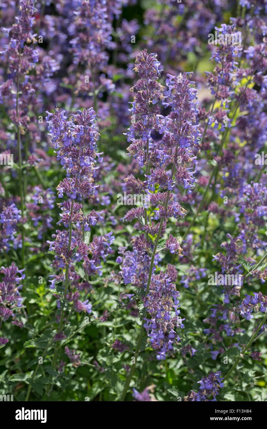 Catmint, Faassen's catnip, Blaue Katzenminze, Hybrid-Katzenminze, Blauminze, Nepeta x faassenii, Nepeta faassenii - Stock Image