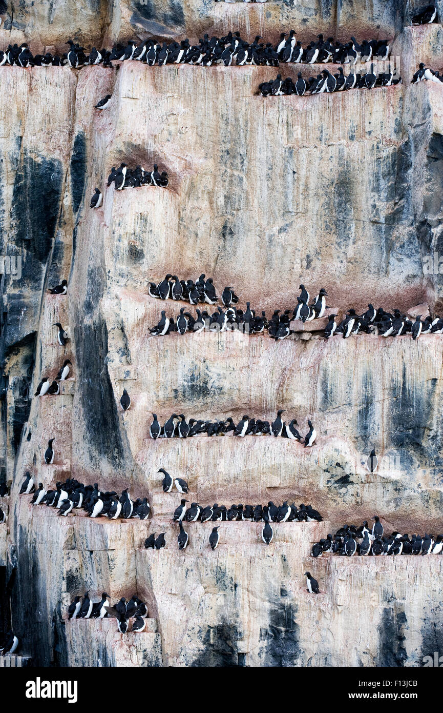 Brunnich's guillemot (Uria lomvia) nesting colony, Alkefjellet cliff, Svalbard, Norway.  July. Stock Photo