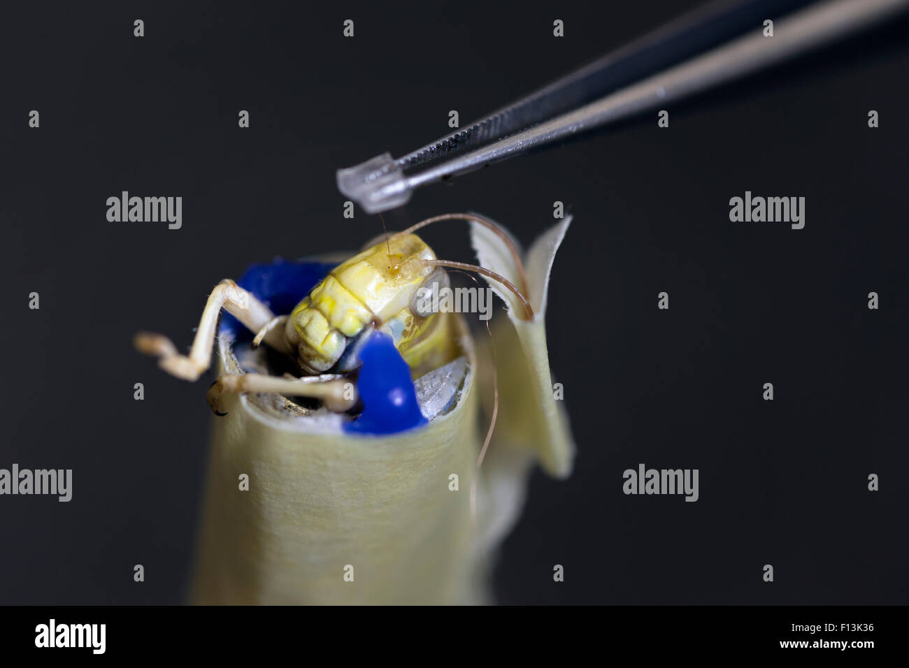 Scientists implanting wires in the brain of a  Desert locust (Schistocerca gregaria) to measure brain activity. - Stock Image