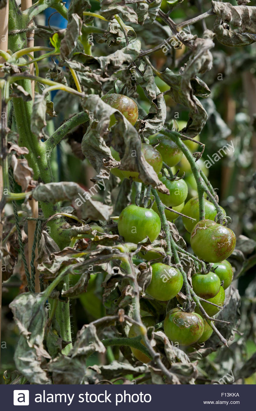 Phytophthora infestans late blight on Tomato - Stock Image