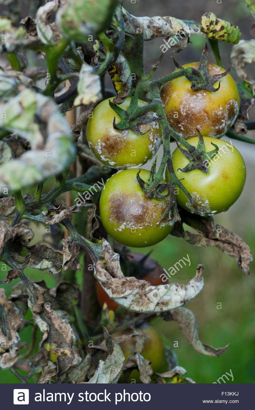 Phytophthora infestans late blight on Tomatoes - Stock Image