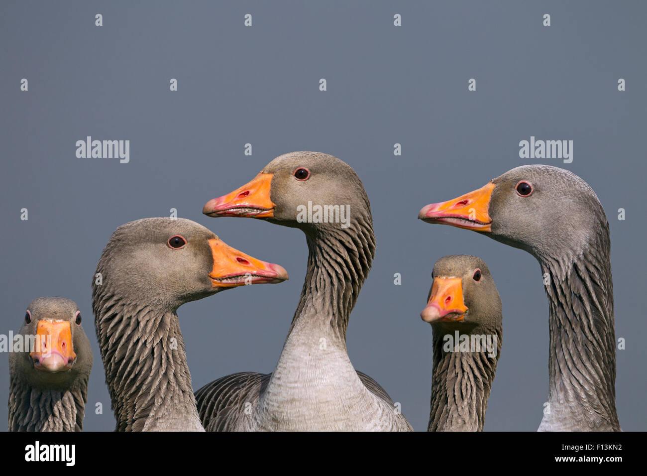 Greylag geese (Anser anser). Cley, Norfolk, UK, March. Digital composite. - Stock Image