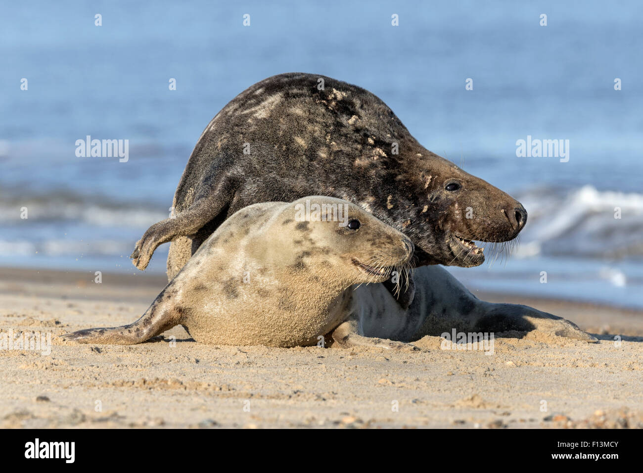 Atlantic Grey Seal adult courting couple - Stock Image