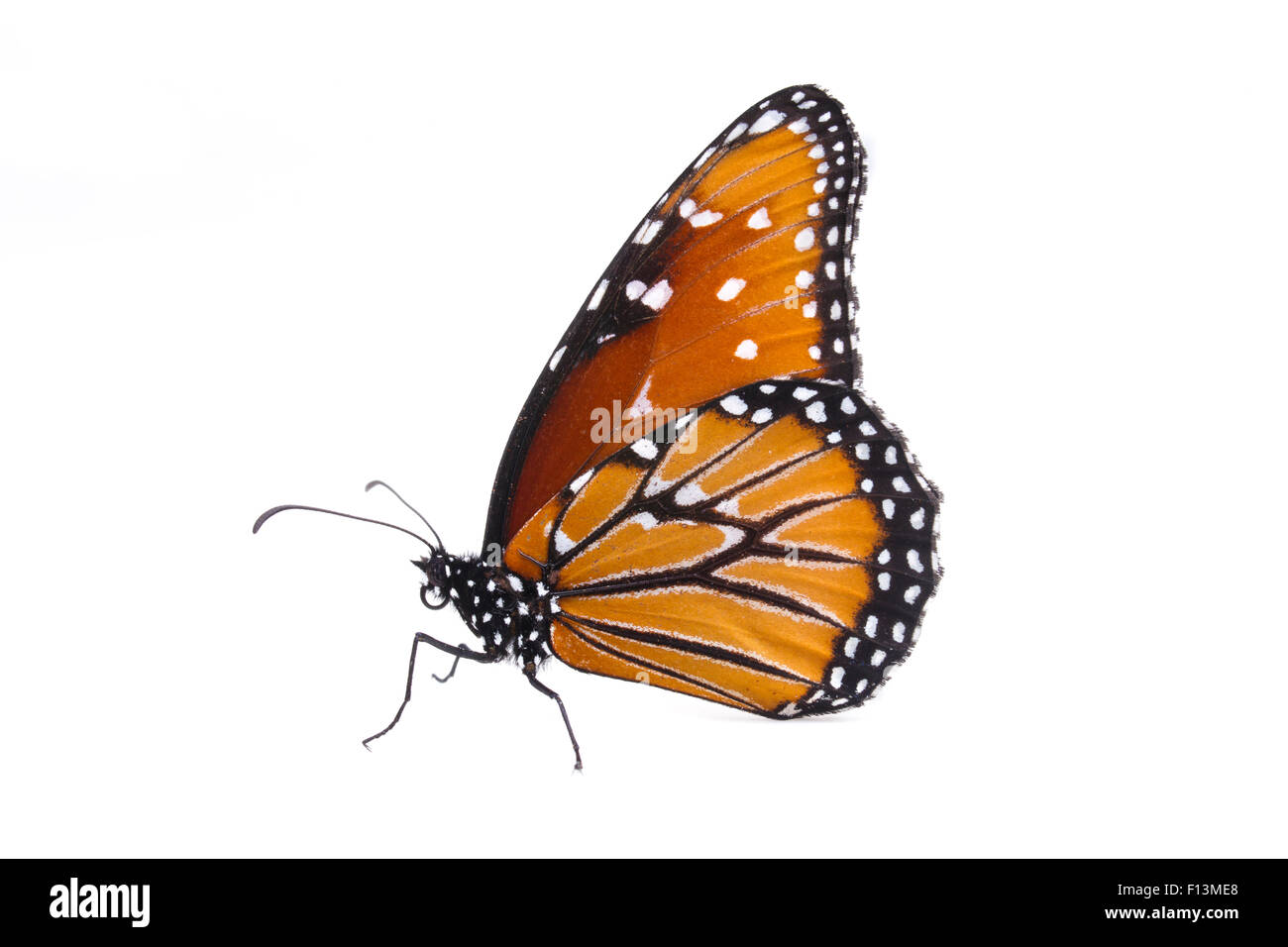 Queen Butterfly (Danaus gilippus) female, Brackenridge Field Laboratory, Travis County, Texas, USA. - Stock Image