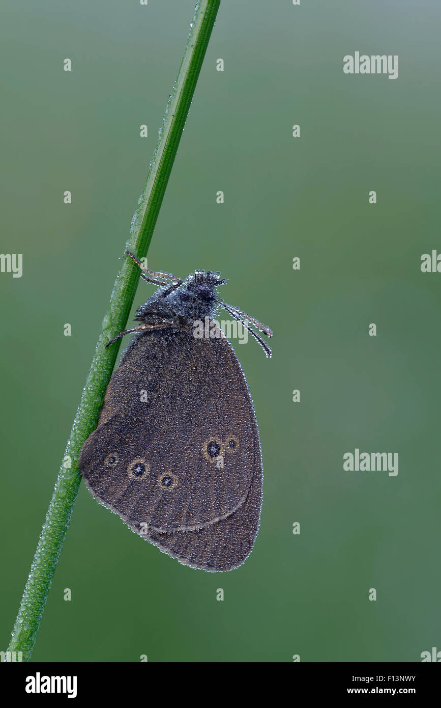 Ringlet (Aphantopus hyperantus) covered in early morning dew, Hertfordshire, England, UK. June.  Focus stacked image. - Stock Image
