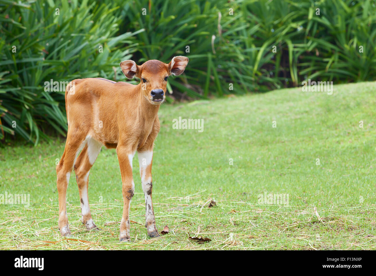 Funny newborn baby cow on the farm stands on green grass and looking around curiously, asian livestocks - Stock Image