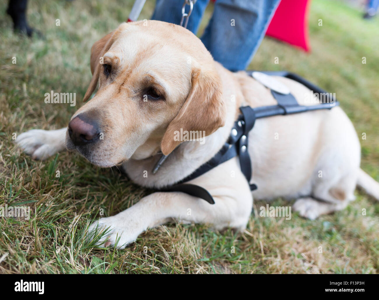 Labrador retriever guide dog before the last training for the animal. The dogs are undergoing various trainings - Stock Image