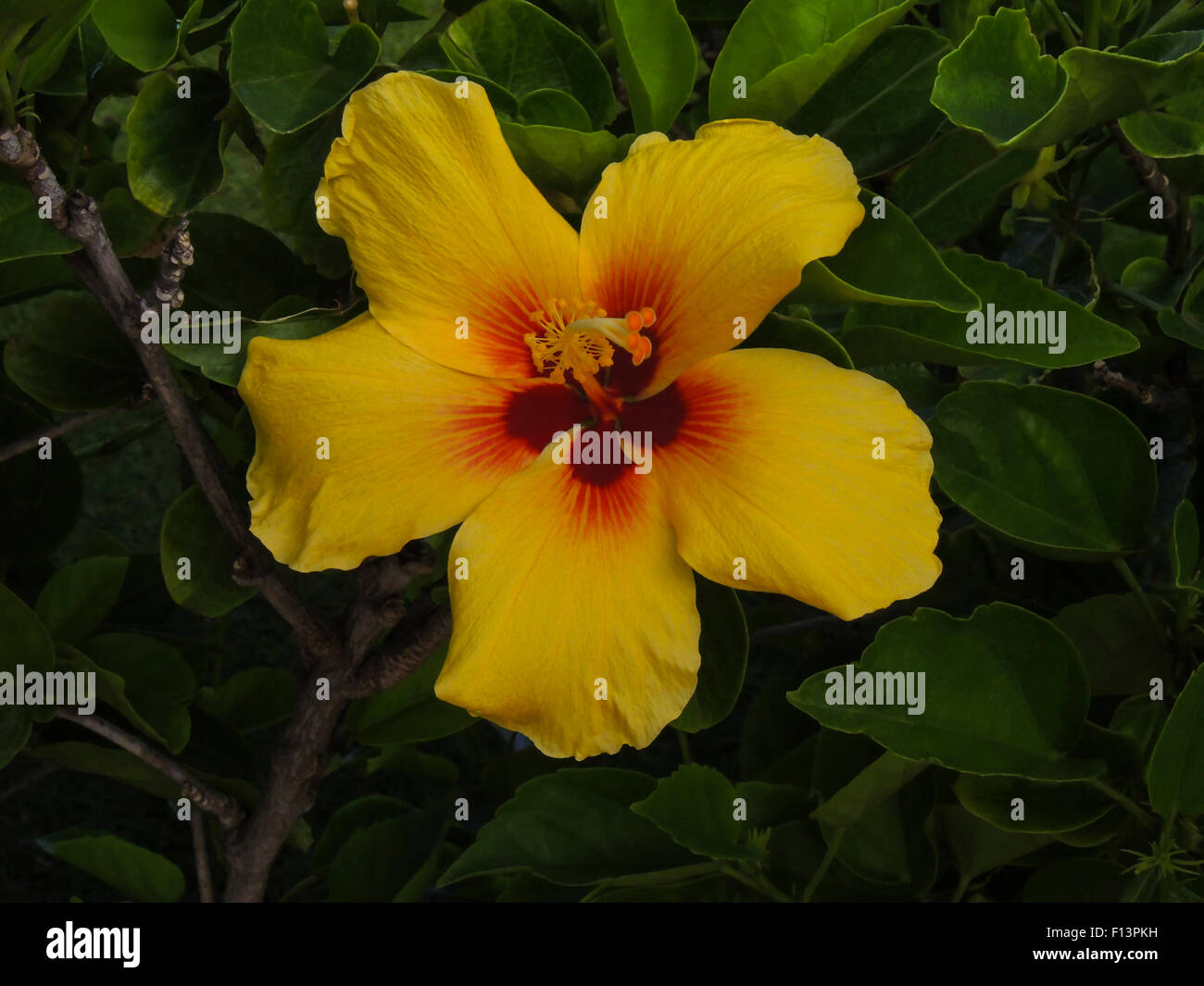 Native hibiscus stock photos native hibiscus stock images alamy hibiscus flower state flower of hawaii is a tropical or sub tropical flower that izmirmasajfo