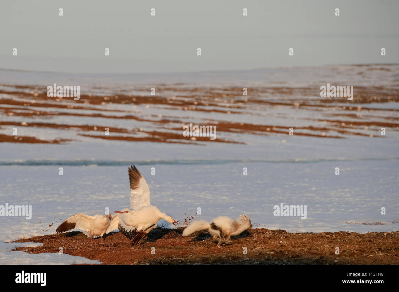 Snow goose (Chen caerulescens caerulescens) mobbing Arctic fox (Vulpes lagopus) trying to steal eggs, Wrangel Island, - Stock Image