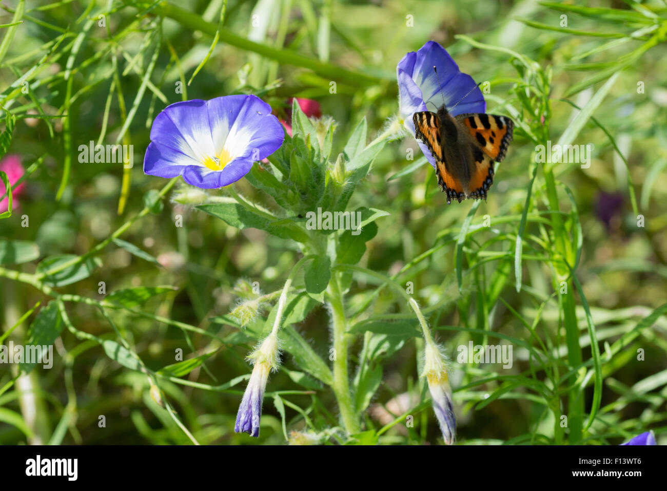 Convolvulus tricolor  morning glory plant with butterfly on flower - Stock Image