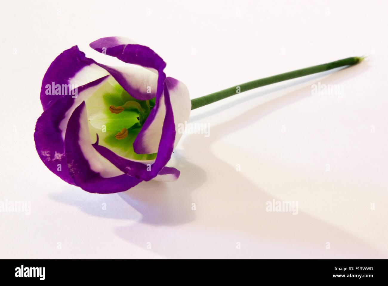 Blue Lisianthus Flower.  A single lisianthus flower on a white background. - Stock Image