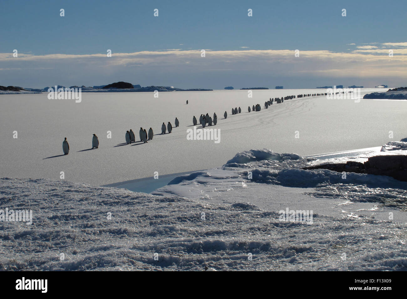 Emperor penguin (Aptenodytes forsteri) procession crossing newly formed sea ice on the way to their breeding grounds, - Stock Image