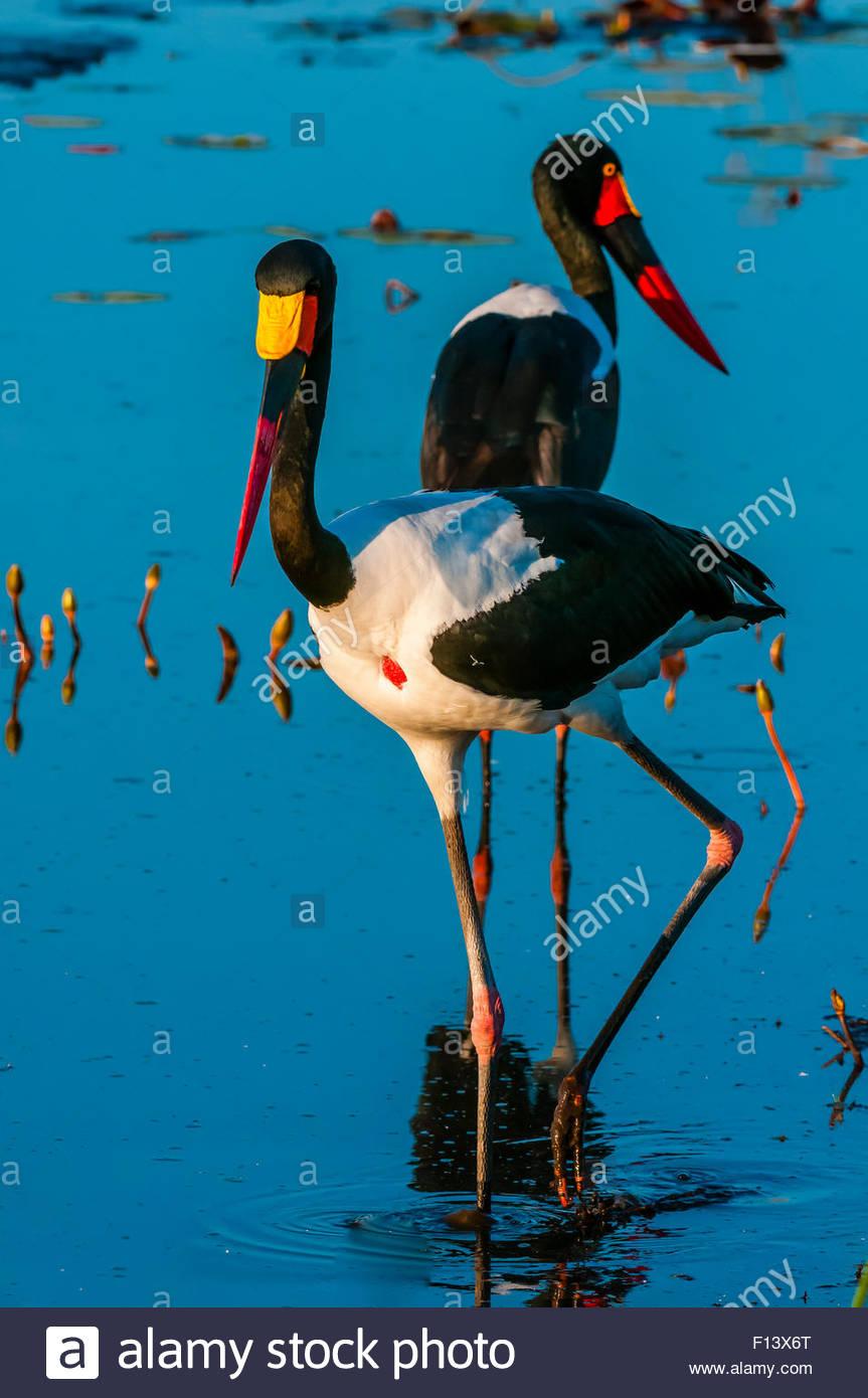 Saddle-billed storks in a shallow stream, near Kwara Camp, Okavango Delta, Botswana. - Stock Image