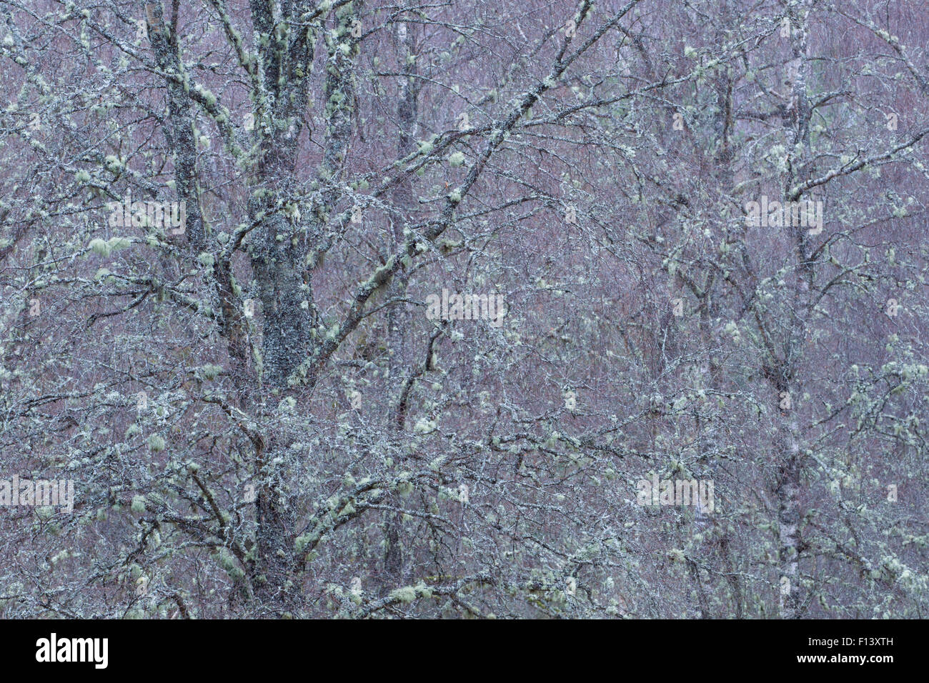 Birch (Betula sp) covered in lichens festooned in lichens, Cairngorms National Park, Scotland, March. - Stock Image