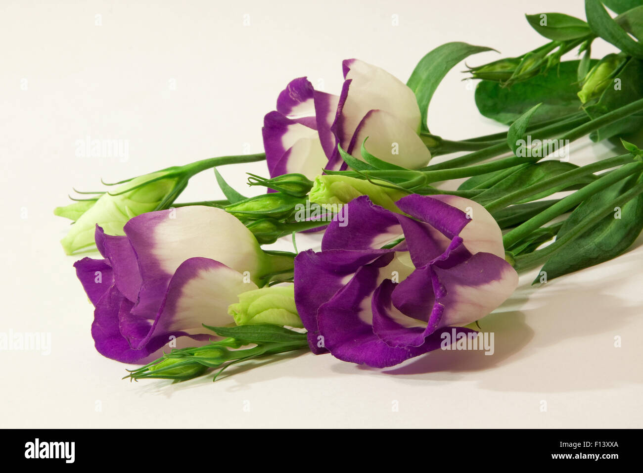 Blue Lisianthus Flowers.  Lisianthus flowers on a white background. - Stock Image